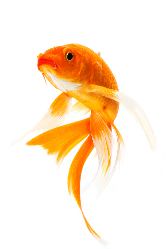 Goldfish care advice from pets at home for Keeping koi carp