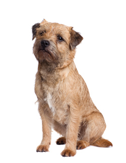 Terriers Dog Breeds