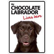 Chocolate Labrador Lives Here