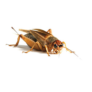 Image for 1000 x 2nd Moult Silent Crickets (Gryllus assimilis) from Pets At Home